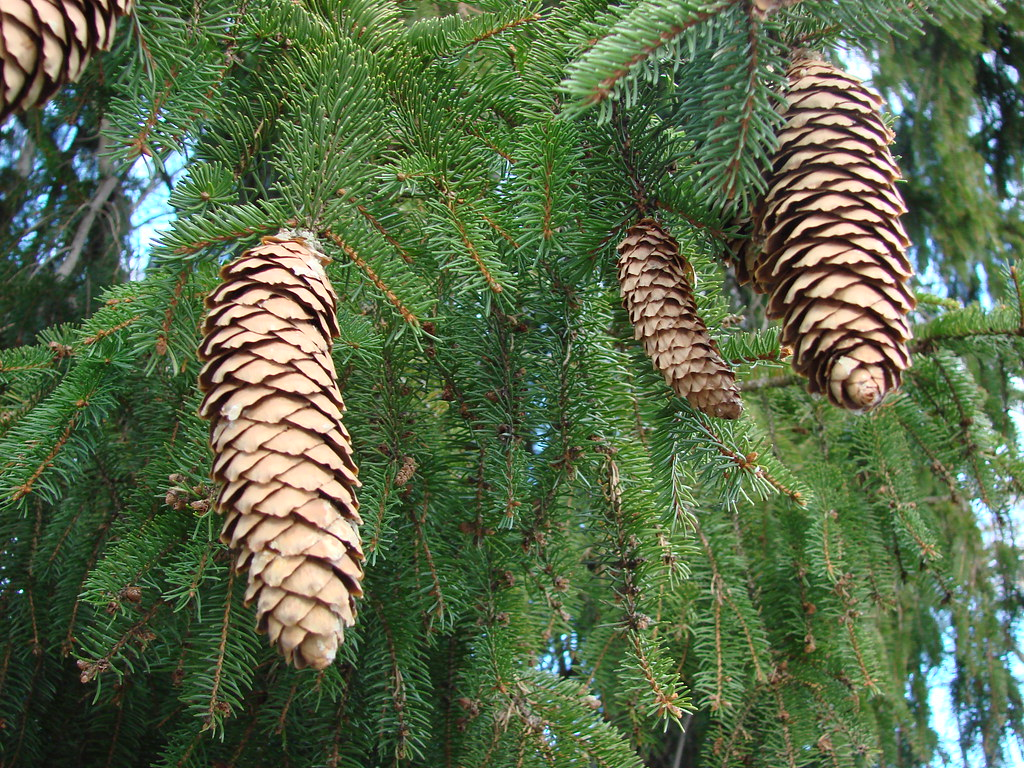 state flower Maine pinecones Susan Dunning