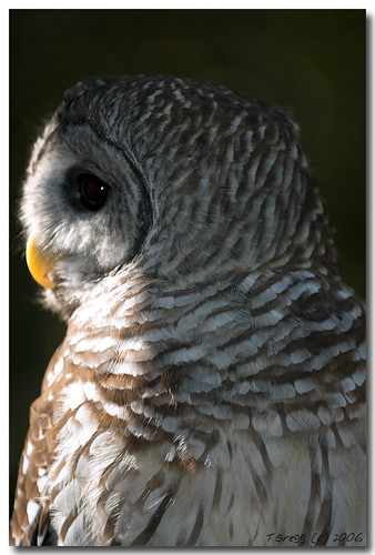 Barred Owl Profile | by Trevor Gregg Photography