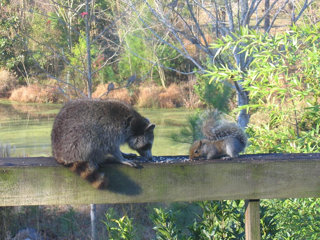 Raccoon And Squirrel Friends Mk Ramm Flickr