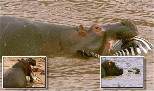 hippo eating zebra his is the terrifying moment a