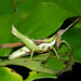 Goat grasshoper (Guetaresia lankesteri) from Panama