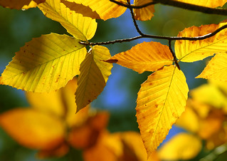 Golden Leaves | by forbes_jeff