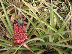Red Pineapple | by Sarah Camp