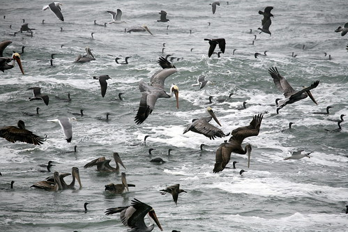 Feeding Frenzy of Cormorants and Brown Pelicans eddy_MdO_bluff_MG_1758-9 | by mikebaird
