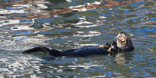 sea-otter-morro-bay-marina_mg_2208e | by mikebaird