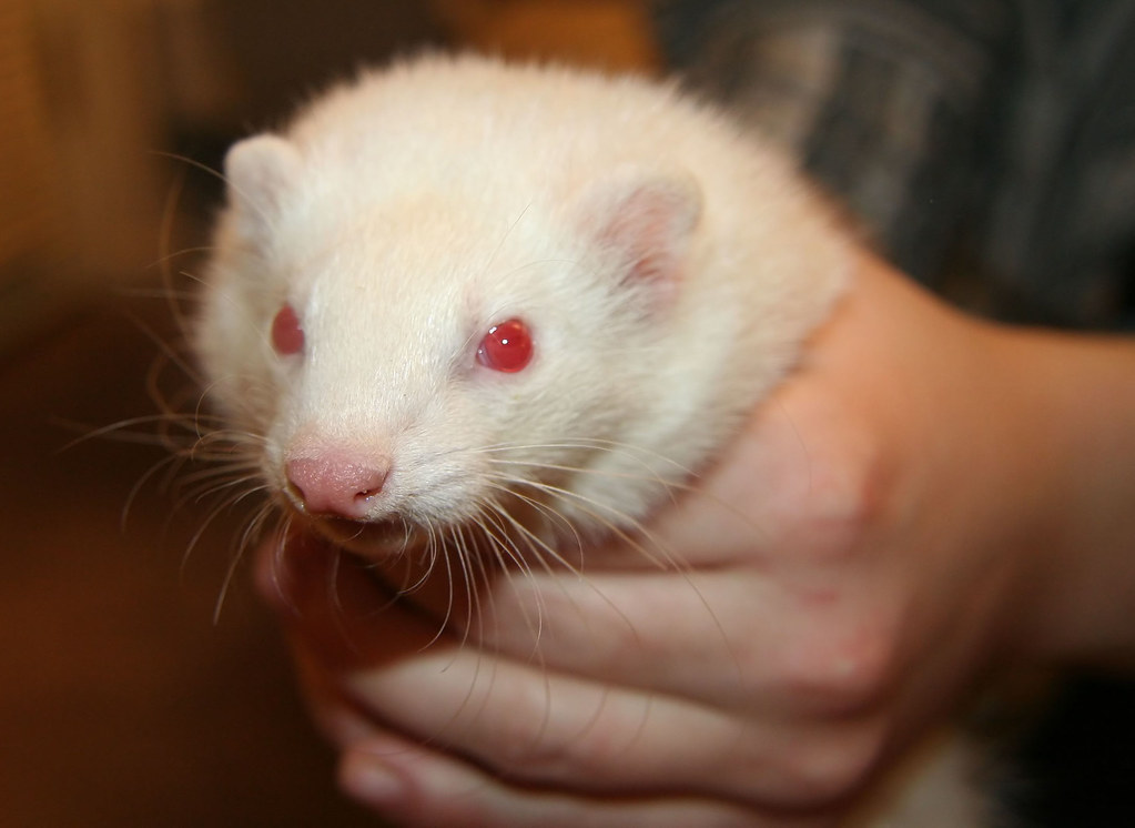 Ferret 2 Ferrets Are Hard To Photograph Some Friends