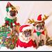 Pug Pyramid - Christmas Portrait