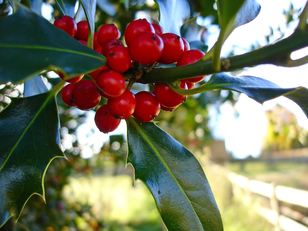 Holly Berries for Colour
