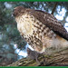 Red Tailed Hawk***