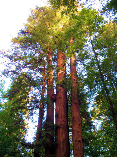 Towering Redwoods | by Richard Masoner / Cyclelicious