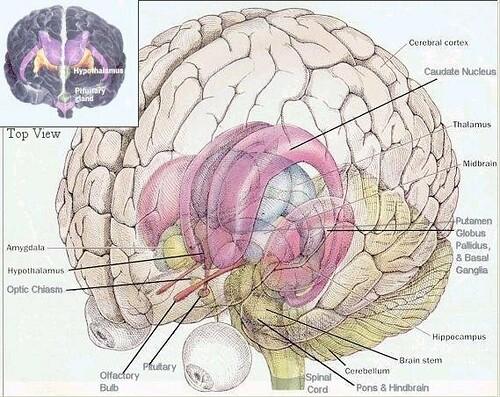 brain diagram   intracranial   Flickr