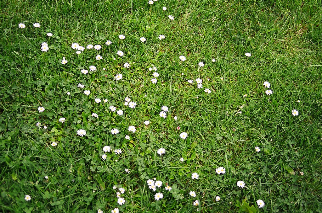 White flowers on grass sam grover flickr white flowers on grass by samgrover mightylinksfo
