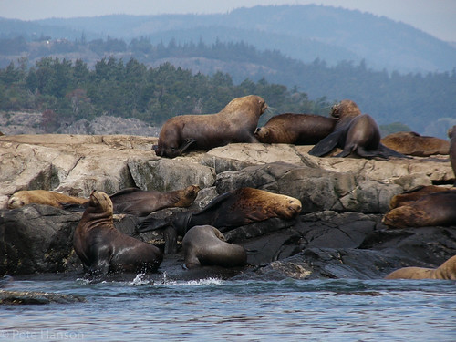 Steller Sea Lions | by Wolfy