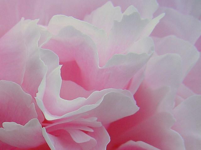 Petal Power Pink Flower Texture Scott Robinson Flickr