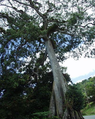 Silk Cotton Trees Silk Cotton Tree Moriah