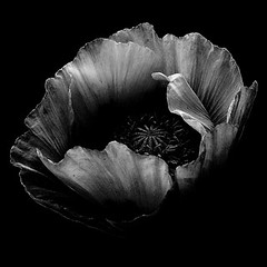 Poppies, Poppies Will Send Then To Sleep | by Monster.