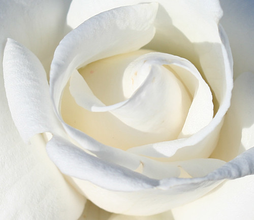 white rose | by dosbears