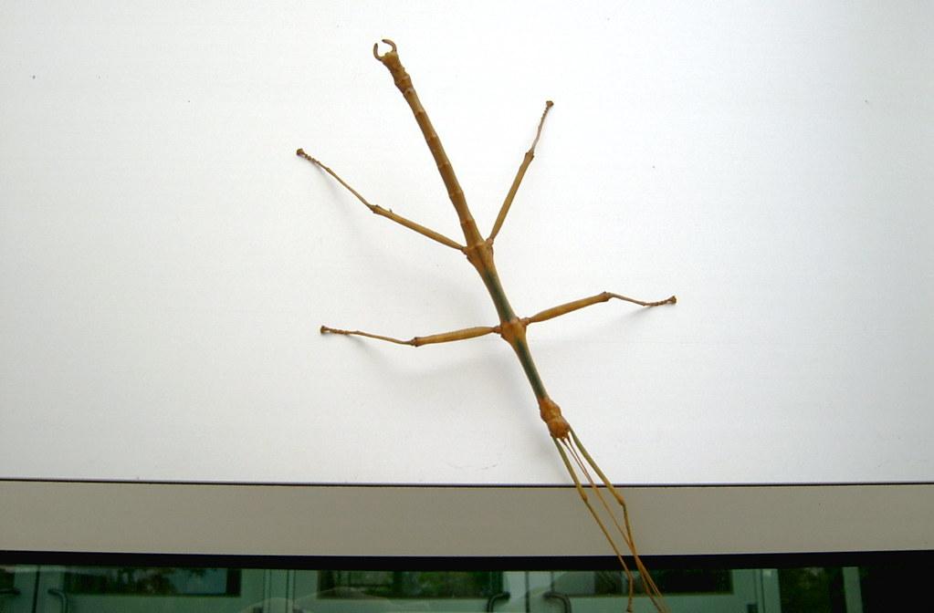 More Stick Than Walking American Walking Stick