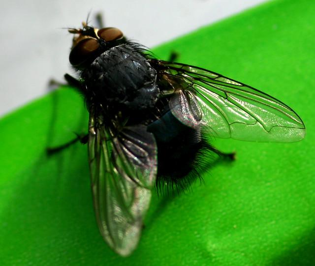 Blowfly housefly or blowfly? |...