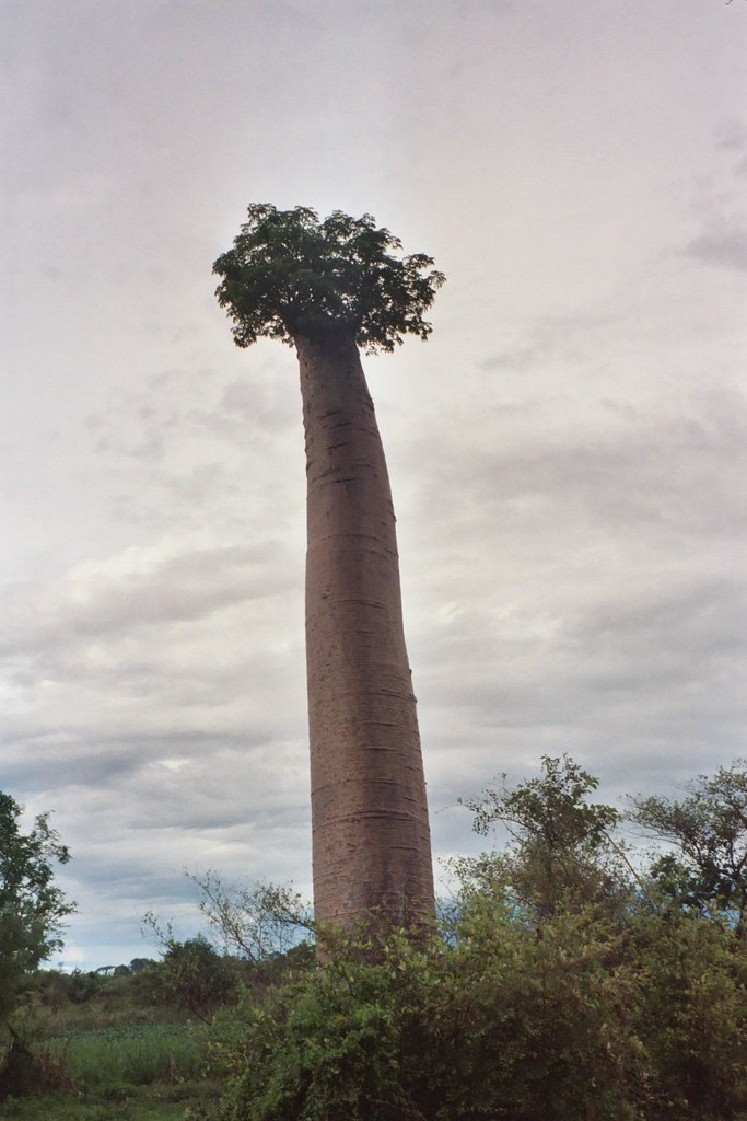 A funny baobab | This is the weirdest tree I have ever ...