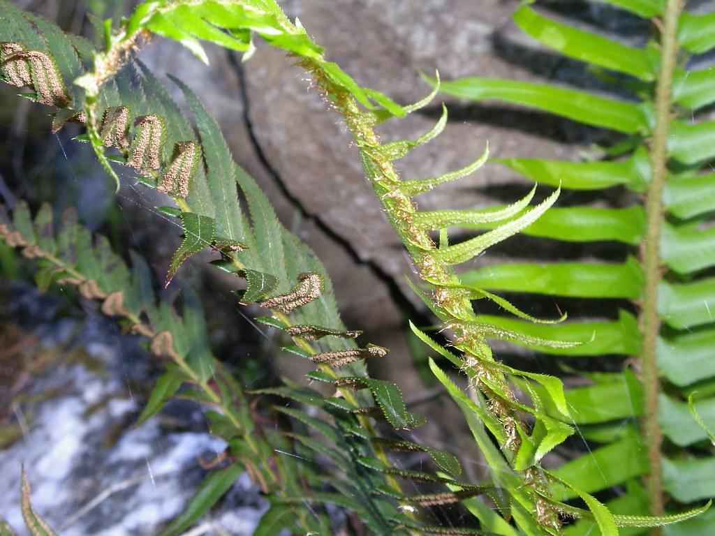 Ganges Salt Spring Island Pindo Palm