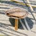 Sand dune mushroom