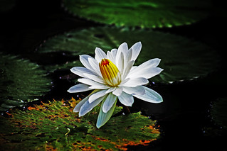 My favourite Water Lily Shot | by waynemethod