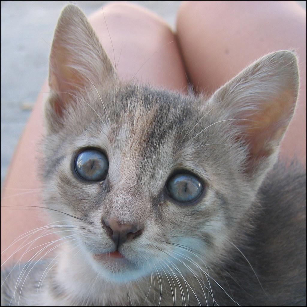 Greek Babycat On My Lap.