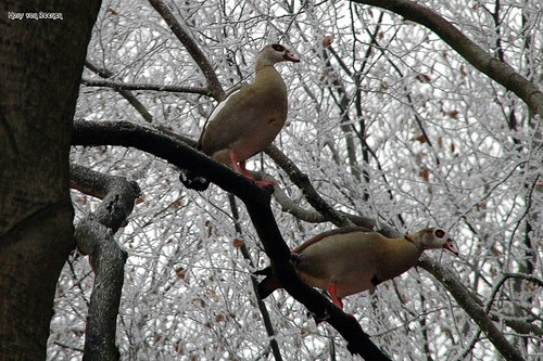 Rarely: Geese in a Tree | by Hans van Reenen