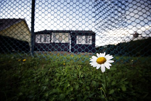 The lone daisy | by Donncha Ó Caoimh