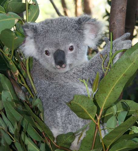 Australian Koala | Flickr - Photo Sharing!: https://www.flickr.com/photos/chatallot/277187943