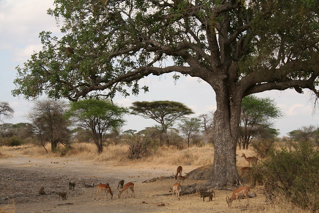 Impala under sausage tree eating fruit knocked off by baboons flickr