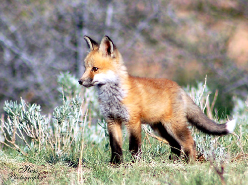 Baby Red Fox Food