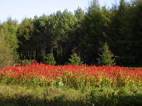 Red flowers at Shizui Mountain - Shangzhi | by Alexandra Moss