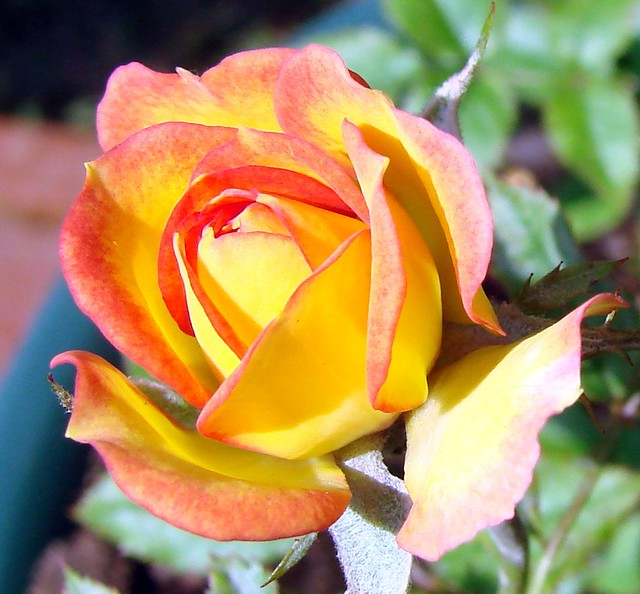 Tiny yellow and peach rose flower these are natural for Natural rose colors