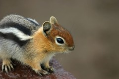 Chipmunk Posing at Crater Lake | by tr1stero