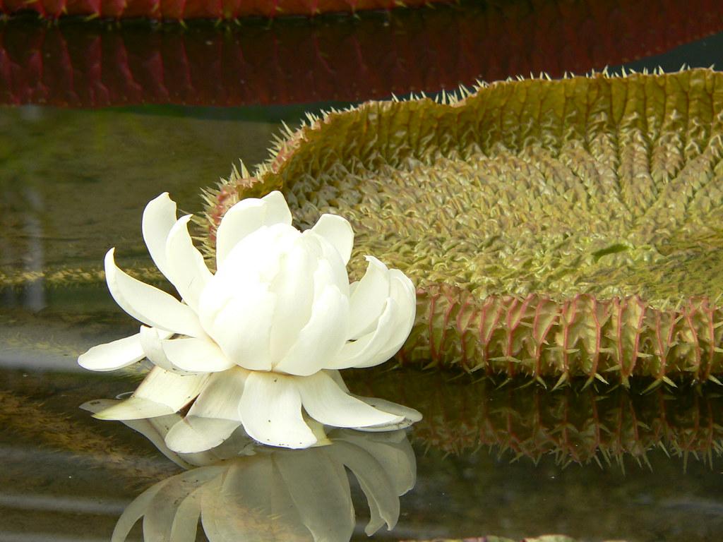 Umi Jigoku, Beppu - giant lilies  Lily flower  Liz  Flickr