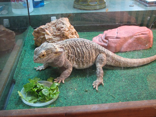 Can Bearded Dragons Drink Tap Water
