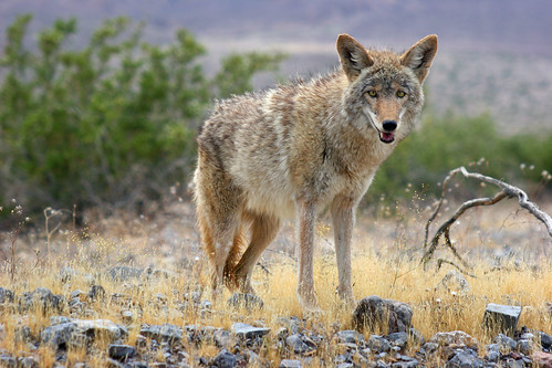 Coyote in Death Valley | by Rob Kroenert