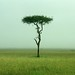 Acacia tree on the grassland