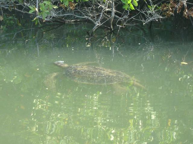 Sea Turtle Black Turtle Cove Santa Cruz A Green Sea