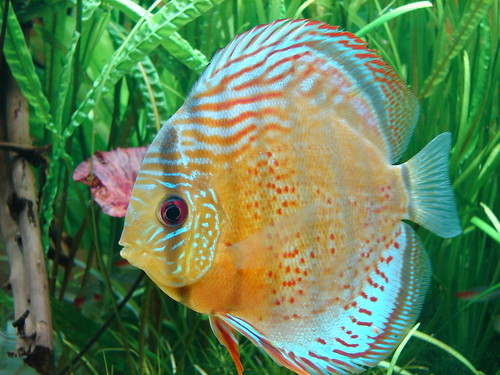 Green Rio Tefe Discus One of my Green Rio Tefe Discus in m ...