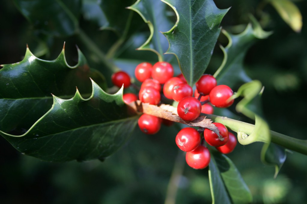 Holly berries | It's nearly christmas! | John | Flickr