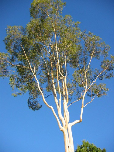 Bare Eucalyptus | by Randy Son Of Robert