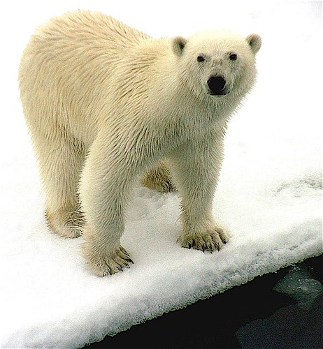 Polar bear up close | by wittepx
