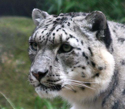 white leopard animal