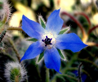 Borago officinalis (I) | by .Bambo.