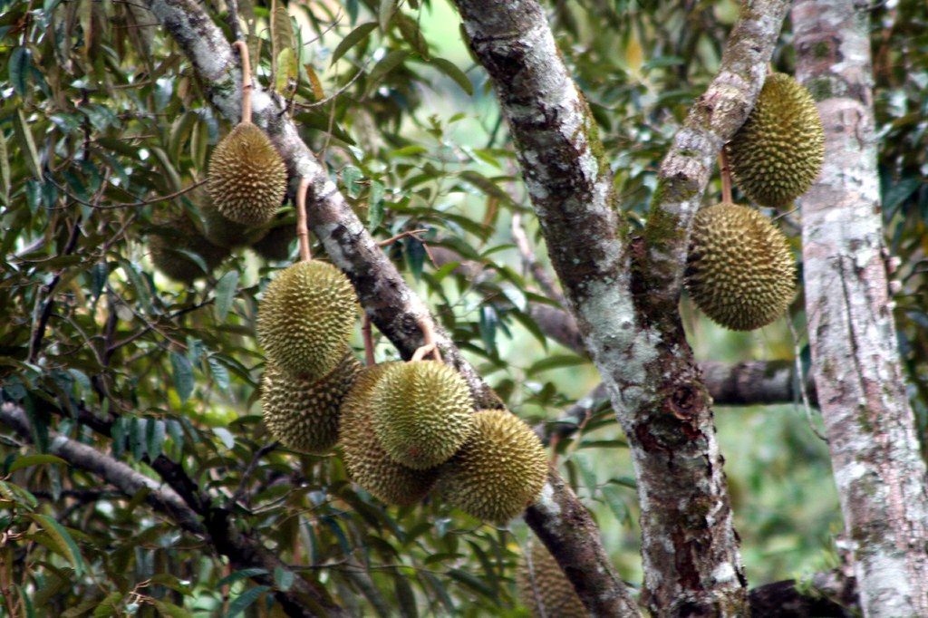 Durian Tree (2)   king of the fruits   sj liew   Flickr