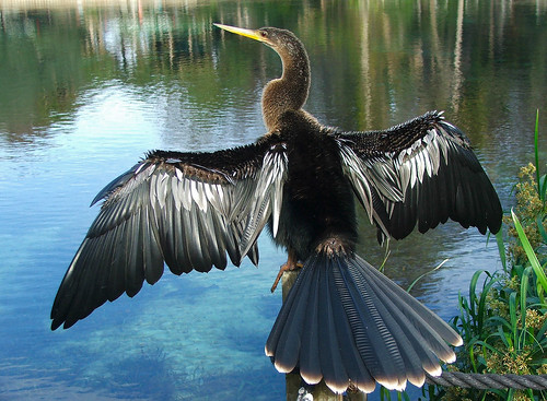 Anhinga drying out | by Patc01