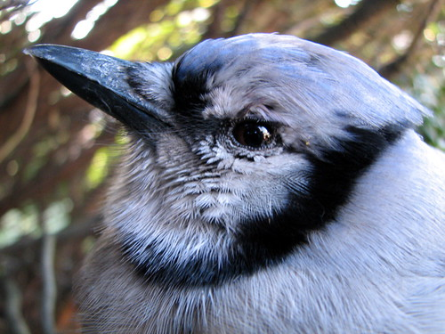 blue jay guys Blue jays are really interesting birds here are 10 reasons why  lalia ggg  sucks ilove blue jays dont you guys march 22, 2013 reply.